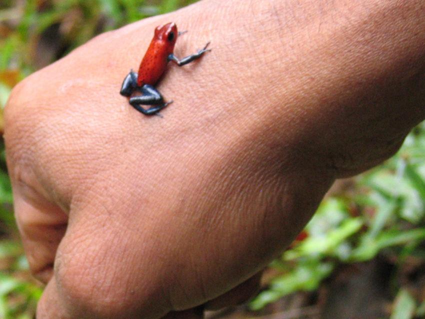 Comparação de  tamanho entre  animais  e   Seres humanos Animals-dart%20frog,%20la%20carolina01