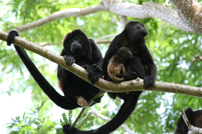 howler monkeys No ...