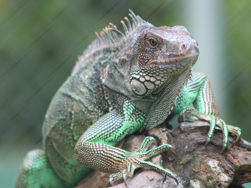 Reptiles of Costa Rica: Iguana, Turtles, Snakes ...